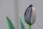 Queen of Night Tulip Bud