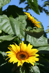 Two American Giant Sunflowers
