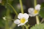 White Strawberry Blossom