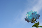 Blue Rose Against Blue Sky