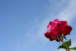 Pink Rose Against Sky