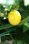 Snow White Cherry Tomato