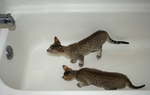 Savannah Kittens Playing in a Tub