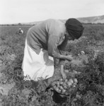 Mexican Migrant Woman Harvesting Tomatoes