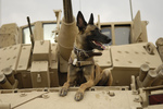 Military German Shepherd