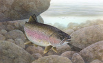 Picture of a Rainbow Trout, Redband Trout (Oncorhynchus mykiss)