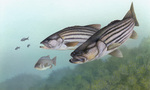 Picture of Striped Bass (Morone saxatilis)