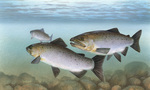 Picture of Pacific Salmon (Oncorhynchus)