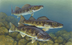 Picture of Walleye Fish (Stizostedion vitreum)