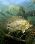 Picture of a Rock Bass (Ambloplites rupestris)