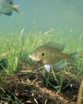 Picture of Bluegill Fish (Lepomis macrochirus) By Underwater Grasses