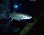 Picture of Lake Trout (Salvelinus namaycush)