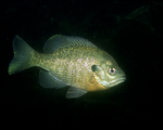 Picture of a Bluegill Fish (Lepomis macrochirus)