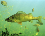 Picture of Yellow Perch Fish (Perca flavescens)