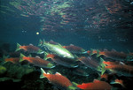 Picture of Rainbow/Redband Trout With Sockeye/Red/Blueback Salmon