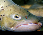 Picture of Face of a Brown Trout (Salmo trutta)