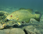 Picture of a Smallmouth Bass (Micropterus dolomieu)