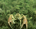 Picture of a Crayfish, Crawfish, Crawdad (Astacidae)