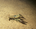 Picture of a Crawdad, Crayfish, Crawfish (Astacidae)