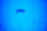 Picture Of a Great Barracuda (Sphyraena barracuda) Near a Rope