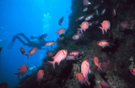 Picture Of A Diver Near A Reef With A Group Of Pink Squirrelfish (Holocentridae)