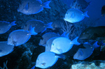 Picture of Blue Tang Fish (Acanthurus coeruleus) Schooling