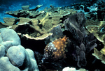 Picture of Elkhorn Coral (Acropora palmata) and a Whitespotted Filefish (Cantherhines dumerilii)