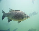 Stock Photography of a White Bass Fish (Morone chrysops)