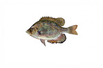 Clipart Image Illustration of a Flier Fish (Centrarchus macropterus)