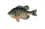 Clipart Image Illustration of a Bluegill Fish (Lepomis macrochirus)