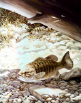 Clipart Image Illustration of Smallmouth Bass Fish Swimming Underwater