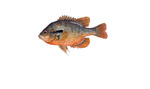 Clipart Image Illustration of a Redbreast Sunfish (Lepomis auritus)