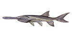 Clipart Image Illustration of an American or Mississippi Paddlefish (Polyodon spathula)