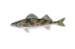 Clipart Image Illustration of a Sauger Fish (Stizostedion canadense)