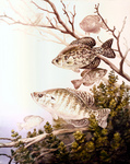 Clipart Image Illustration of Black Crappie and White Crappie Fish Swimming