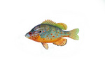Clipart Image Illustration of an Orangespotted Sunfish (Lepomis humilis)