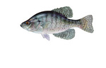 Clipart Image Illustration of a White Crappie Fish (Pomoxis annularis)