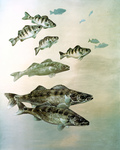 Clipart Image Illustration of Walleye, Yellow Perch and Pike Fish Swimming Together