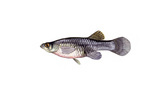 Clipart Image Illustration of a Freshwater Mosquitofish (Gambusia affinis)
