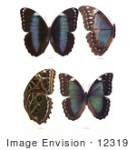 #12319 Picture Of Four Morpho Butterflies