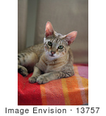 #13757 Picture Of A Male F4 Savannah Kitten On A Towel