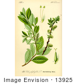 #13925 Picture Of Salix Bicolor Willow