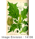 #14106 Picture Of Jimson Weed Gypsum Weed Loco Weed Jamestown Weed Thorn Apple Angel'S Trumpet Devil'S Trumpet Mad Hatter Crazy Tea Zombie'S Cucumber (Datura Stramonium)