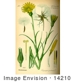 #14210 Picture Of Meadow Salsify Showy Goats Beard Jack-Go-To-Bed-At-Noon (Tragopogon Pratensis)