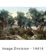 #14414 Picture Of The Garden Of Gethsemane Jerusalem