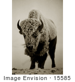 #15585 Picture Of A Buffalo Bison In Fog Frost And Snow