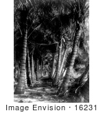 #16231 Picture Of A Coconut Palm Tree Avenue In Florida