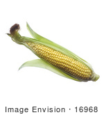 #16968 Picture Of One Whole Opened Ear Of Corn With Silk And Husks