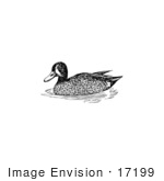 #17199 Picture Of A Blue-Winged Teal (Anas Discors)