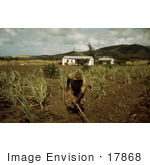 #17868 Photo Of An African American Farmer Cultivating Rows In A Sugar Cane Field